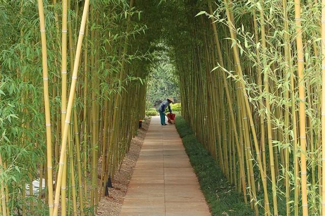 planter du bambou au jardin le journal du jardin. Black Bedroom Furniture Sets. Home Design Ideas