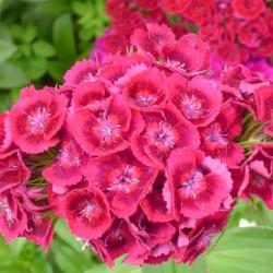 Oeillets (Dianthus) : semis, variétés, floraison