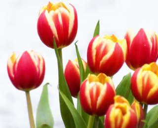 Tulipe : floraison, multiplication et plantation