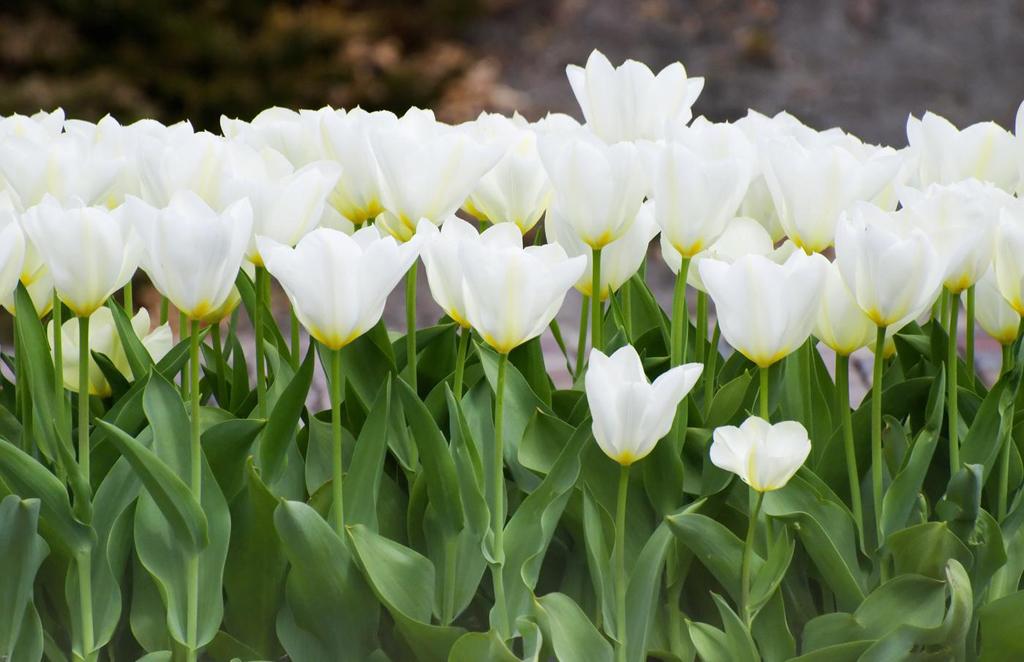 Tulipe floraison multiplication et plantation le - Planter des tulipes en mars ...