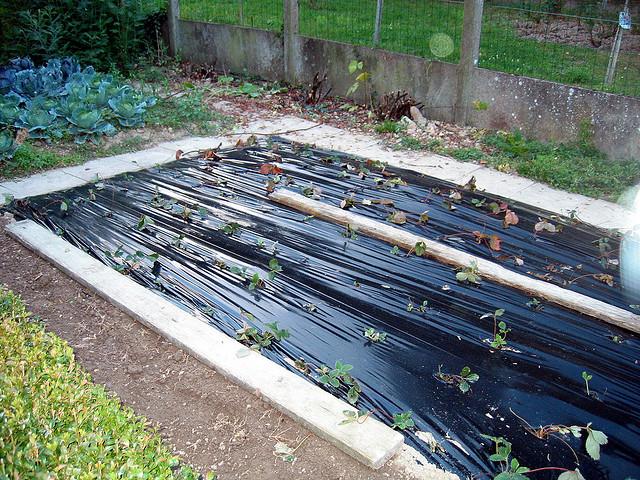 fraisier entretien plantation culture et conseils le journal du jardin. Black Bedroom Furniture Sets. Home Design Ideas