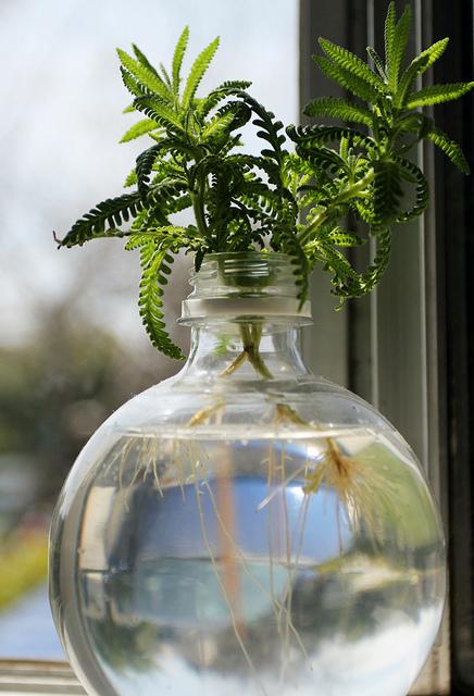 hydrocultre bouturer dans l 39 eau mes plantes d 39 int rieur le journal du jardin. Black Bedroom Furniture Sets. Home Design Ideas