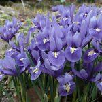 Iris réticulé