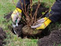 Strauch einpflanzen - planting a shrub 13