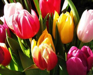 La tulipe de printemps