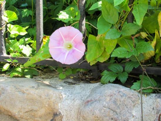 petit-liseron-avec-fleur