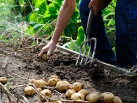 potager pomme de terre