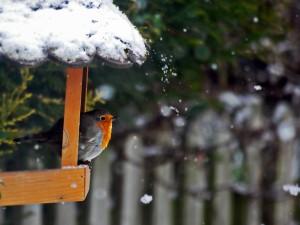 Oiseau rouge gorge en hiver dans la neige