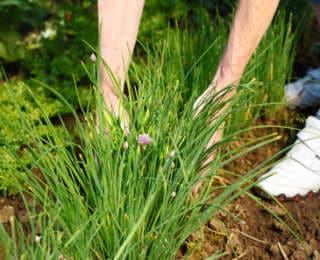Ciboulette : plantation, entretien et récolte