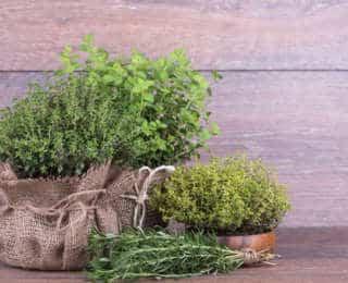 Thym : plantation, entretien et récolte