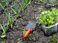 plantes au potager