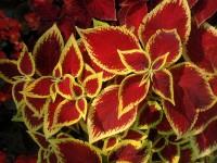 pot-fleurs-coleus