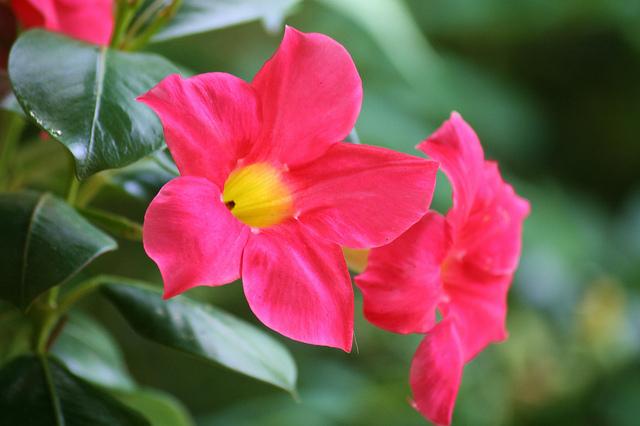pot-fleurs-dipladenias