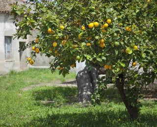 Citronnier : plantation, récolte et entretien