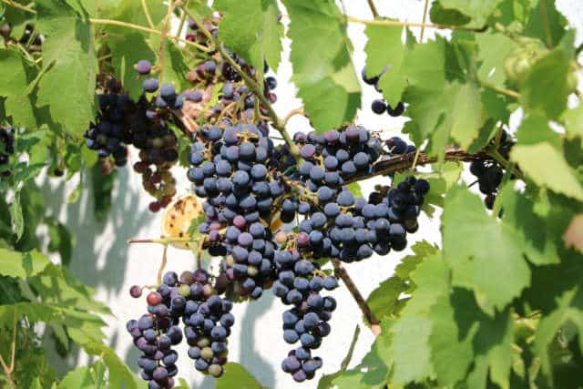 raisin muscat bleu