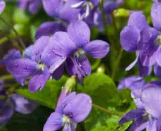 5 plantes odorantes pour un jardin parfumé