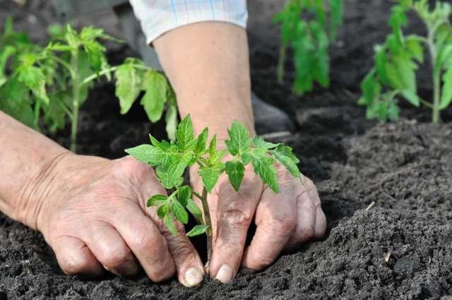 cultiver les tomates au potager