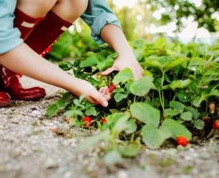 4 astuces pour réussir la culture des fraises !