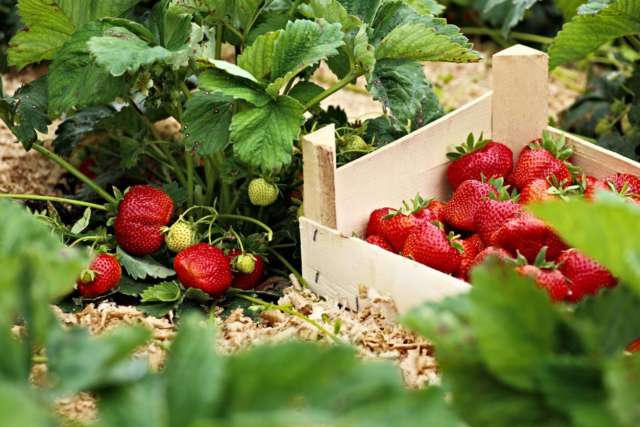 jardin potager bio fraises